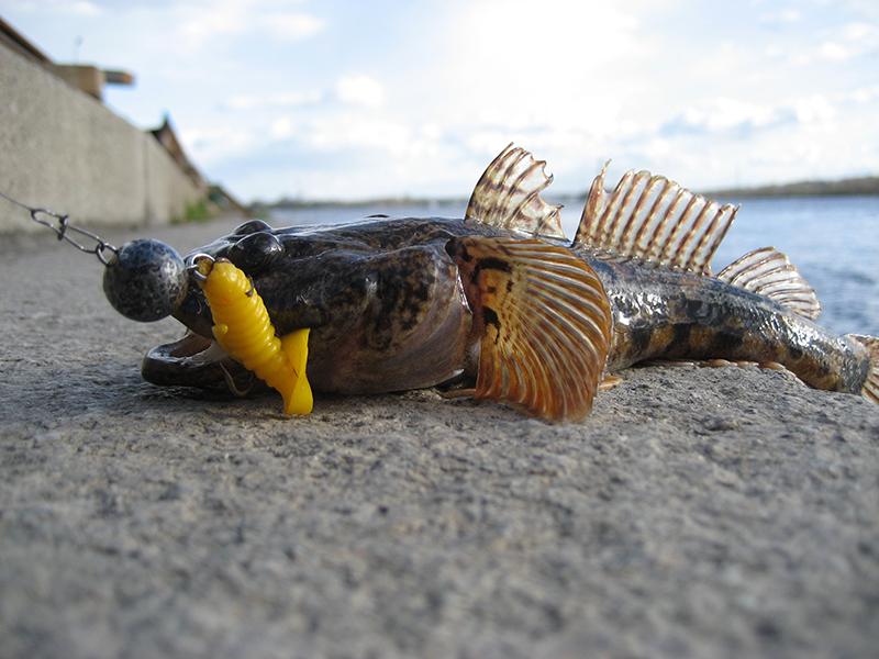 Рыбалка Наживки на морского бычка камбалу глось